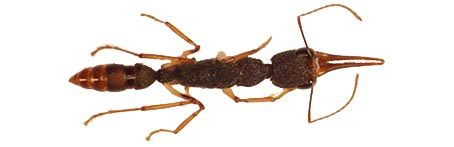 Harpegnathos top view